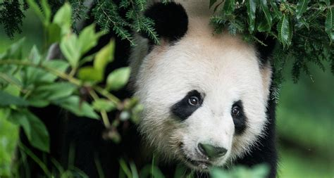 happy birthday  jia jia  oldest living giant panda