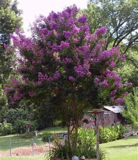 35 purple crepe myrtle lagerstroemia flowering shrub bush small tree seeds 171 lawn nation
