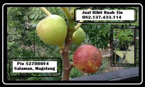 Bibit Buah Tin Kediri jual bibit buah tin murah bibit buah tin unggul bibit