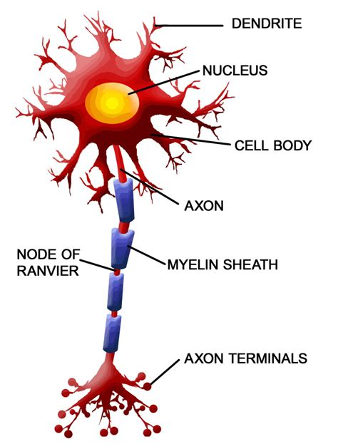 diagram of neurone the neuron external structure and classification