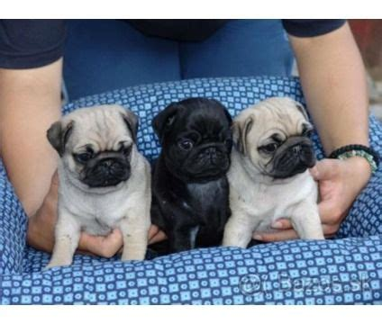 pugs for sale in jacksonville fl 25 best ideas about pug puppies on pug puppies pugs and baby dogs