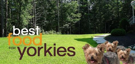 food for yorkies what is the best food for yorkies daily stuff
