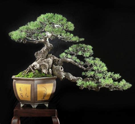 Bibit Bonsai Cemara Udang tanaman cemara udang she oak bibitbunga