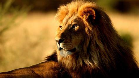 imagenes full hd de leones nature wallpaper animales leones saddlebrown fondo