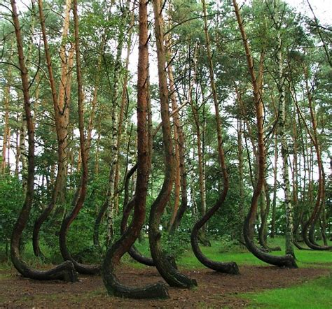 mysterious crooked forest in west pomerania poland poland s cool crooked forest