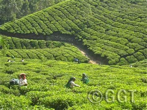 coffee plantation wallpaper tea and coffee tour of south india geringer global travel