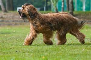 briard pictures wallpapers9
