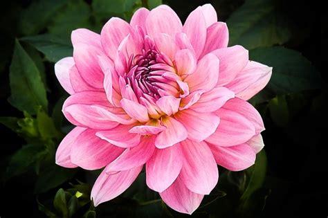 Tanaman Bunga Dahlia Ungu Tinggi 30 50 Cm arti bunga dahlia sebagai simbol persatuan abadi