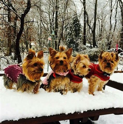 yorkies in the snow 741 best images about