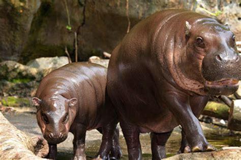 Kitchen Island Large singapore zoo exhibits amp zones exhibits pygmy hippo