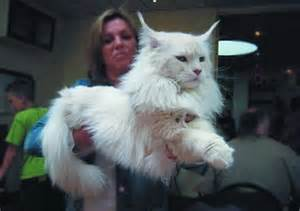 breed largest maine coon cat originally the breed maine