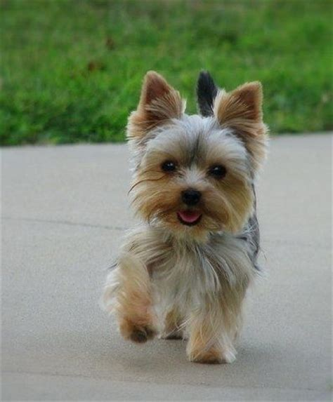 yorkshire terrier blond photos hairstyle gallery best 25 yorkshire terrier haircut ideas only on pinterest