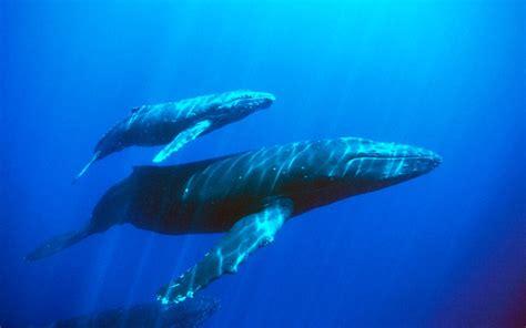 paus biru ikan raksasa  menyusui ulya days