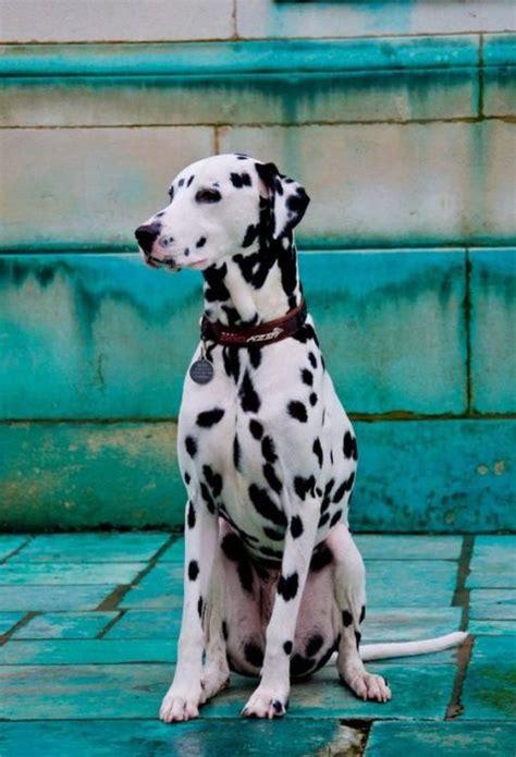 cani taglia media appartamento cani di taglia media scegliete quello fa per voi