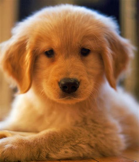 golden retriever puppy not oliver the golden retriever puppies daily puppy