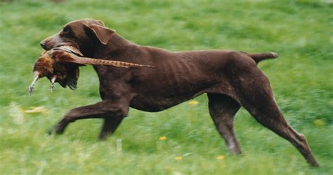 sporting dogs image gallery sporting dogs