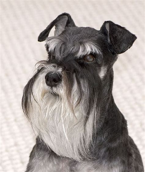 behind the beard the schnauzer personality