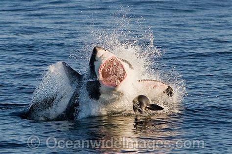 mako vs sea hunt boats great white shark attacking seal stock photo