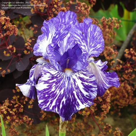 Garden Bell Batik by 43 Best Garden Collection Irises Images On