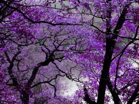 purple tree purple trees on