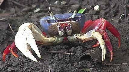 the vire and other crabs brachyura and anomura in captivity books crab students britannica homework help