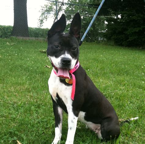 boxer boston terrier mix puppies 17 best ideas about boston terrier boxer mix on boxer mix care and