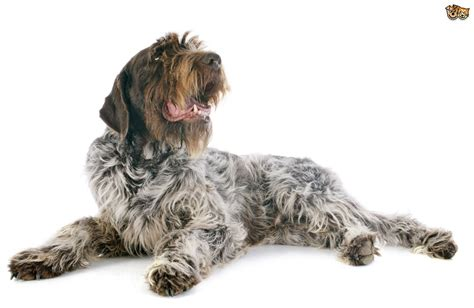 wirehaired pointing griffon puppy is a wirehaired pointing griffon the right for you pets4homes