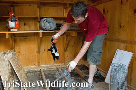 Removing Skunks From Shed Skunk Removal In Westchester Ny Tristate Wildlife