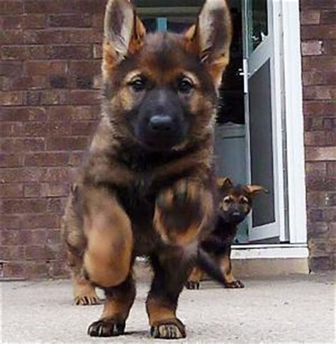 german shepherd puppies ta news local news the leading community site for minehead porlock dunster