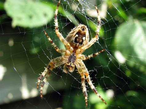 Garden Spider File Kruisspin European Garden Spider Araneus