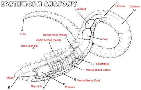 earthworm anatomy diagram earthworm labeling answer key