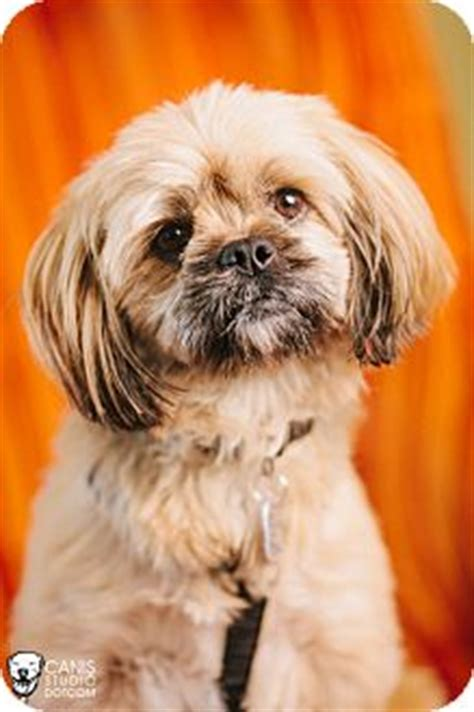 yorkie portland oregon bubba adopted portland or yorkie terrier lhasa apso mix