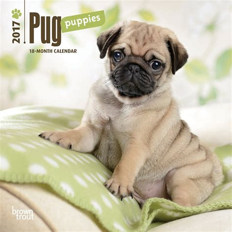 pug calendar pug puppies 2017 mini wall calendar 9781465053770