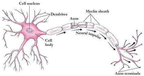 motor neuron definition 7th grade science study guide 2015 16 lenet instructor