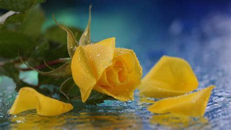 alibabki kwiat jednej nocy alibabki kwiat jednej nocy