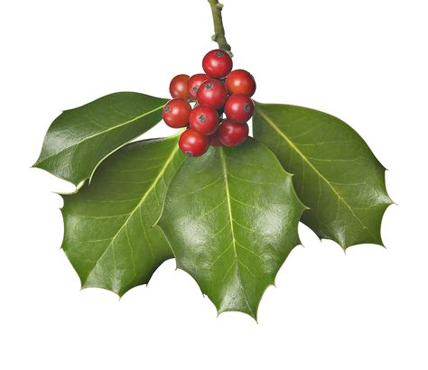 7 surprising facts about mistletoe cbs news