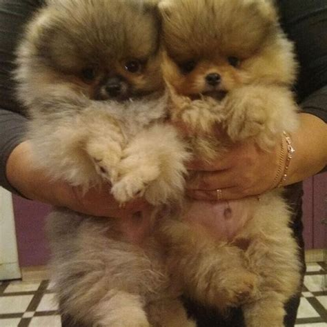 prices for pomeranian puppies 17 best ideas about pomeranian for sale on