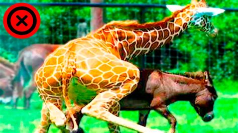 ver imagenes mas asombrosas del mundo 10 animales h 237 bridos m 225 s asombrosos del mundo youtube