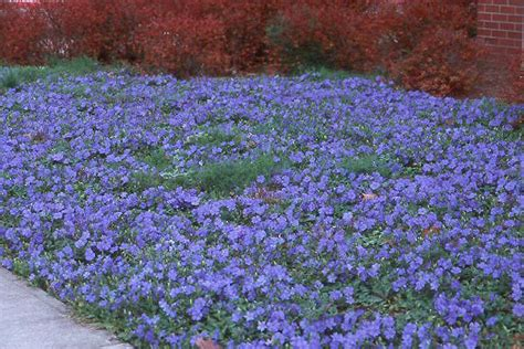 fast spreading ground cover high by fast spreading wide ground cover with small purple flowers