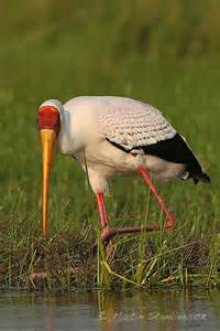 African Yellow-billed Birds