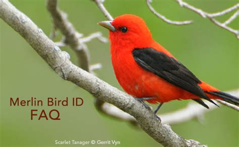 merlin bird id app frequently asked questions all about