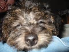 yorkie poo seattle travsite yorkie poo puppy pictures page 2