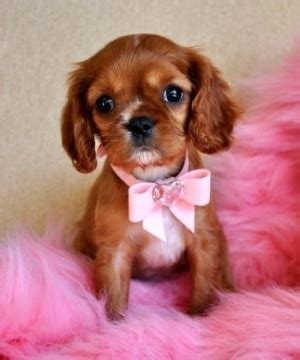 teacup yorkies for sale in orlando fl the world s catalog of ideas