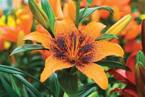 top 28 do tiger lilies bloom all summer tiger lily fence friday got to give each summer