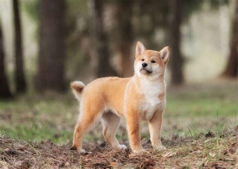 shiba inu puppies price shiba inu price range how much does a shiba inu puppy cost