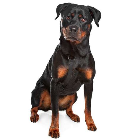 rottweiler maintenance cost rottweiler rottweiler pet insurance breed info