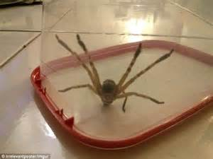 spider in bed huntsman spider wakes australian man up by joining him