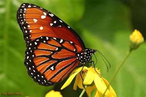 monarch color what color is your butterfly