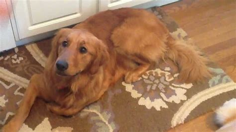 golden retriever fail golden retriever fails to catch treats but still adorable yes dogs yes dogs