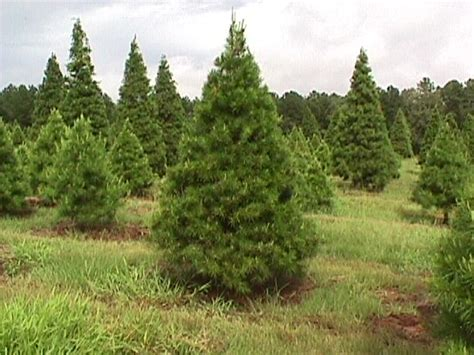 mill hollow christmas tree prices